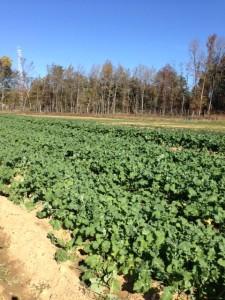 kale farm